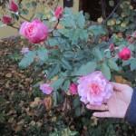 Розы в конце октября